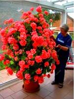 Vente Chaude! Graines de fleurs VIP cadeau 100 Pcs escalade Géranium bonsaï fleur jardin balcon décoration plantes