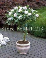 100 pflanze jasmin bonsai pcs / tasche blume weiße arabische duftende gartensamen wachsen nach hause selten einfach zu b wunqk