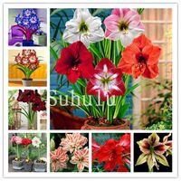 뜨거운 Amaryllis 분재 200 개 중국어 싼 화려한 꽃 분재 식물 hippeastrum 꽃 씨앗 식물 냄비 정원 발코니 쉬운 성장
