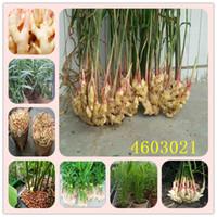 100 PC 생강 가든 발코니 야채 씨앗 화분 화분의 분재 식물 플로레스 포시버 Zingiber Plantas 식물 생존율 97 % 이상