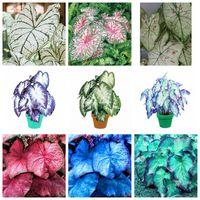 뜨거운 판매 200 PC 씨앗 분재 일본어 칼라듐 바이 컬러 Bonsais Planta 발코니 희귀 꽃 홈 정원 쉽게 자라기 쉬운 배송