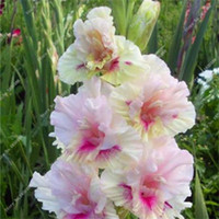 50 PC / semilla bolsa gladiolo, (no bombillas gladiolo), semillas de flor del gladiolo, 97% en ciernes semillas del lirio rara espada aeróbicos plantas en maceta
