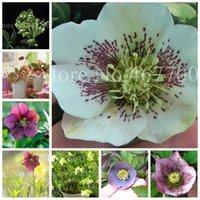 De nouvelles semences! 120 Pcs Helleborus fleurs d'hiver Rose Fleur Bonsai pot Plantes d'extérieur plante pour jardin broomsedge usine Lotus