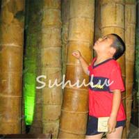 50 PCS Gaint BONBOO BONSAI Semillas, Mosa Bambú, Fácil de cultivar Phyllostachys Pubescens Planta de Bambú, Planta al aire libre para Home Garden