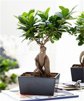 100 unidades / bolsas Semillas Ficus Lyrata Flower Bonsai Tree, Balcón en maceta Banyan Tree Leaf Bonsai Las plantas de novelas, anti-radiación, purifican el aire