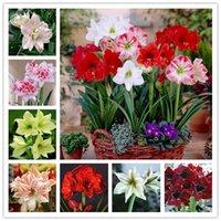 2 개 씨앗 트루 컬러 믹스 속 Hippeastrum Rutilum (분재) 아마 릴리스 꽃 상징하는 사랑의 꽃 식물 홈 정원 장식