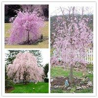 판매! 30 PC / 가방 핑크 분수 울음 벚꽃 나무 분재 씨앗 DIY 난쟁이 일본 사쿠라 꽃 식물 공장 집 정원에 대 한 다년생