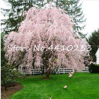 50 sztuk Nasiona Różowa Fontanna Weeping Cherry Tree Bonsais Rośliny DIY Home Ogród Dwarf Drzewek Bonsais Wieloletni Odkryty Kwiat Darmowy Shippin