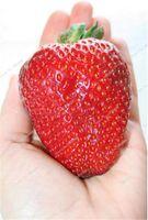 Neuankömmling ! 1000 stücke gaint rote erdbeersamen flores bio berry obst plantas gemüse nicht-gmo bonsai topf für hausgarten