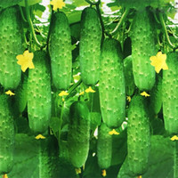 Best selling 200 Pieces of cucumber bonsai plant seeds rare non-GMO delicious cucumber fruits and vegetables autumn home gardening planting
