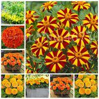 Big sale 300 pcs  bag Seeds African Marigold Flower Herbs Tagetes Erecta Flore Bonsai Tagetes Plant For Home Garden Planting Easy Grow