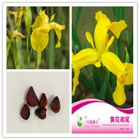 1 paquete de semillas de flores paquete original de la flor del iris amarillo en maceta hierba planta de los bonsai amarillo de la flor Rosa Iris resistente perenne Bonsai Plant caliente s