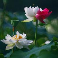 10 Stücke Schüssel Lotus Blume Pflanzen Lotus Samen Pflanze Bonsai Lotus Samen Bringen Sie Ihnen bei, wie man Hausgarten Freies Verschiffen pflanzt