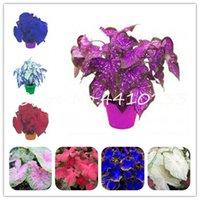 판매! 500 PC 다채로운 Caladium 난쟁이 분재 식물 씨앗 탄 장미 코끼리 귀 아름 다운 분재 꽃 집 정원 식물에 대 한 화분 식 식물