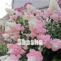 Ventes! 200 pcs RARE Hydrangea Plantes Semences Mixtes Hydrangea Fleurs Plante Home Plante Bonsaï Viburnum Fleur Pour Home Jardin Ornamental Bonsaï