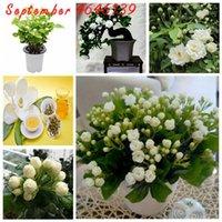 50 PC / 가방 씨앗 화분 식물 재스민 분재 아름다운 Jasminum Sambac Flower Bonsai 실내 아로마 향기로운 차