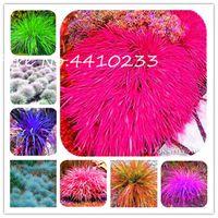 분재 300Pc 다채로운 이국적인 김의 털 잔디년 분재 관상용 아름다운 꽃 성장하기 쉬운 Diy 가정 정원을 위한 씨앗을 심고