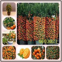50 PC를 감귤류의 식물 분재 씨앗 만다린 오렌지는 식용 과일 분재 나무 식물 건강에 좋은 음식 홈 가든 쉽게 성장하는 것을 분재