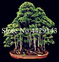200 PC secoya de amanecer semillas de plantas Bonsai árbol Grove - Metasequoia glyptostroboides, para DIY cultivar un huerto casero! Muy easyto Grow! Planta ornamental