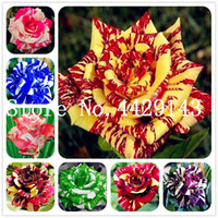 بونساي الورود الزهور 500 قطعة / الحقيبة ألمانيا النادر التنين روز بونساي بذور النباتات المزهرة النباتات ل diy الرئيسية حديقة شرفة سهلة النمو