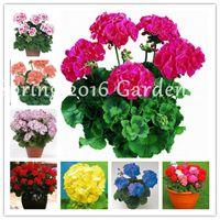 Promotion! 300 pcs / sac Univalve Géranium Geranium Graines Pernial Flower Garden Pelargonium Peltatum Plante Pour Chambres, Croissance naturelle