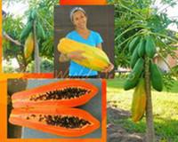 50pcs / 가방 씨앗 달콤한 maradol 파파야 야외 식용 열대성 육즙 jardin 과일 가보 유기 정원 드워프 과일 나무 쉽게 성장 분재