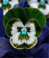 24 colores 50 PC / paquete siembra el pensamiento mexicano Semillas ondulada Viola tricolor Flor de la planta en maceta bonsai jardín de DIY el envío libre