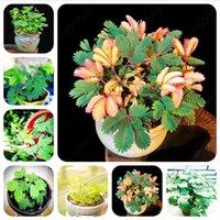 Hot Sale! Mimosa Seeds 200 pcs ourdoor Bonsai plants flower home garden pot plants Clean air