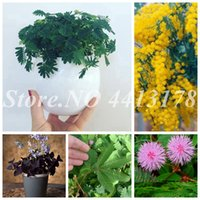 200 pcs  bag Balcony Mimosa Seeds Pudica Potted Foliage Outdoor Bashful Grass Plant Flower Bonsai Sensitive Planta for Home Garden Decor