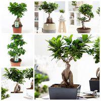 100 PCS / BOLSA Semillas Ficus Lyrata Bonsai Tree, Flor Balcon Balcon Banyan Tree Leaf Bonsai Garden Plants, Anti-Radiación, Purifique el aire