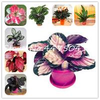 판매! 홈 정원 200 PC를 다채로운 태국 Caladium 꽃 분재 식물 씨앗, 번트 로즈 코끼리 귀 아름다운 분재 꽃 식물