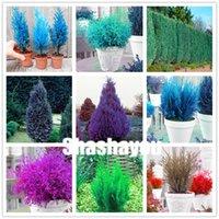 200 PC semillas azules Cipreses plantas raras plantas Platycladus orientalis Oriental Arborvitae de coníferas bricolaje plantas del jardín