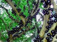 100 шт. Вкусные фруктовые семена растений Plinia Cauliflora Bonsai Tree Family Myrtaceae Jabuticaba Новый фруктовый бразильский завод Винограда