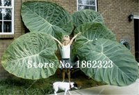 100 PC 화분 식물 태국 Caladium 컬렉션, DIY 홈 가든 분재 공장 화분 발코니 장식 식물 꽃 씨앗