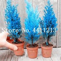 100 PCS Blue Cypress Trees Bonsai Plant Semeds Platyladus Orientalis Oriental Arborvitae Plantas Coníferas Plantas DIY Home Garden Plantas Bonsai
