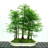 100 semillas Redwood PC Dawn glyptostroboides Metasequoia Bosque Bonsai crecer su propio árbol Bonsai para las semillas de huerta de envío