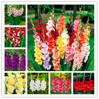 100 Pcs Multi-Color Gladiolus Flower(Not Gladiolus Bulbs), 95% Germination, DIY Aerobic Potted, Rare Gladiolus Bonsai Flower