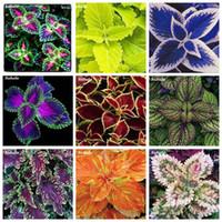 200 개 씨앗 Janpanse 분재 coleus 식물 무지개 드래곤 단풍 식물 야외 피는 화분에 심는 꽃 식물 집 정원 재배