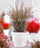 Jardín Potted Plant 50 PCS Semillas Rare Blue Cypress Bonsai Tree, Bonsai para macetas de maceta