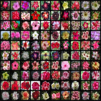 20 stücke gemischt echtes echt adesum wüste rose blume hause garten bonsai sukkulente pflanzen balkon partt 100% echt
