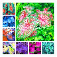 200 PC 여러 색상 태국 태국 Caladium 분재 분재 분재 식물의 씨앗 화분 식물 Caladium DIY 홈 정원 식물