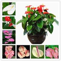 200ピースの種子希少花Anthurium Bonsaiバルコニー鉢植えの植物Anthuriumの花のハーブの花盆栽のためのDiyホームガーデン