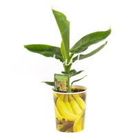 Genuíno! 300 Pcs Sementes Dwarf Banana Tree Bonsai Fruit planta rara Taste Mini Bonsai Musa velutina Sementes Da Fruta Leite delicioso da fruta