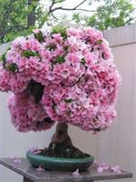 20 جهاز كمبيوتر شخصى / كيس يبكي بذور ساكورا، بذور أزهار الكرز، جميلة شجرة ساكورا بذور زهرة بونساي وعاء شجرة مصنع لحديقة المنزل