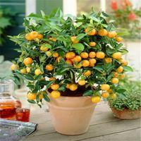 50 PCS / BAG KAFFIR LIME Plantas Semillas (cítricas aurantifolia) Plantas de frutas orgánicas Bonsai Fruit Lemon Tree para el jardín del hogar