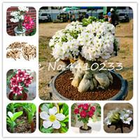 100 % 진정한 백색 사막 장미 분재 식물 씨앗 장식 식물 발코니 분재 화분 아름다운 꽃 Adenium Obesum 분재 - 5 입자