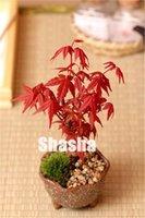 Heißer Verkauf 10 stücke Neue Samen Ahorn Bonsai Baum Pflanzen, japanische Ahornpflanze für Haus- und Gartenpflanze