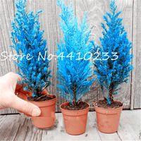 Mejor la venta de 100 semillas de las plantas de las PC Blue Cypress Bonsai árbol Platycladus orientalis Oriental Arborvitae Bonsais Bonsais de coníferas del jardín de DIY