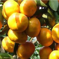 홈 정원 식물의 크리스마스 트리 냄비처럼 오렌지 나무 씨앗 분재 유기농 과일 씨앗을 등반 50 개 / 가방 오렌지 씨앗