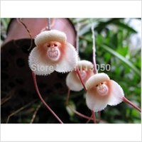 Organic organic monkey - 100pcs Beautiful Monkey face orchids seeds Multiple varieties Bonsai plants Seeds for home garden